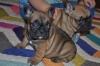 Расови френски булдог кученца