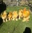 Продавам яйца от голям жълт кохин