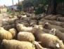 Търся овчари