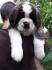 Продават се дългокосите санбернар кученца