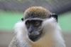 Продавам малка маймунка