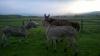 елитни магарета внос и понита