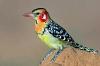 Екзотични гълъби и яребички