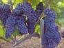 Продавам грозде -  Мускат отонел,Каберне совиньон,Памид,Ркацители