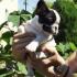 Продават се кученца на Френски Булдог с шампионски произход