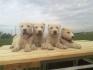 Продават се кученца на Акбаш Кангал