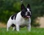 Продавам мъжко кученце на Френски Булгод