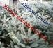 Живи коледни елхи от сребист смърч