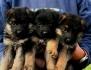 Продават се отлични кученца на немска овчарка