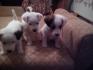 Продавам малки кучета порода Джак ръсел териер