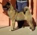 Продават се отлични кученца на Американска Акита