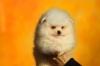 Померан Бу бели кученца