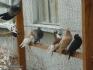 Продавам гълъби на въртене и глас, различни цветове