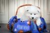 Продавам кученца на Самоеди с шампионски произход