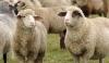 Продавам Овце, кочове, агнета, сеновали