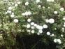 Производство на разсад от римска лайка / roman chamomile seedlings / anthemis nobilis