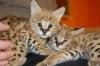 Предлагат се красиви котенца Serval и F1 Savannah