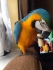 ДНК документи 2-годишен мъжки син и златен ара