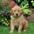 Кученца златен ретривър